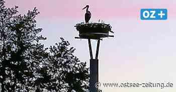 Storch in Bad Doberan auf Erkundungstour - Ostsee Zeitung