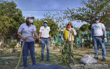 Siembran guaduas, cedros y robles a orillas del río Manzanares - El Heraldo (Colombia)
