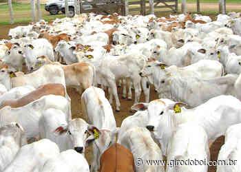 Como minha fazenda pode produzir bezerros acima da média no Brasil? - Canal Rural