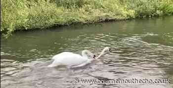 Swan dies after bevy are driven up River Avon in Fordingbridge - Bournemouth Echo