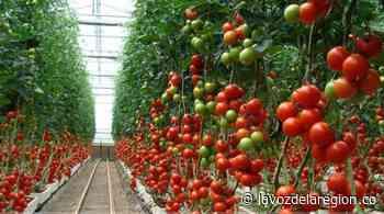 Tesalia busca convertirse en el primer productor de tomate cherry del Huila - Noticias