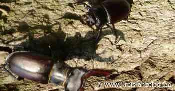 Hirschkäfer fliegen wieder rund um Nidda - Kreis-Anzeiger