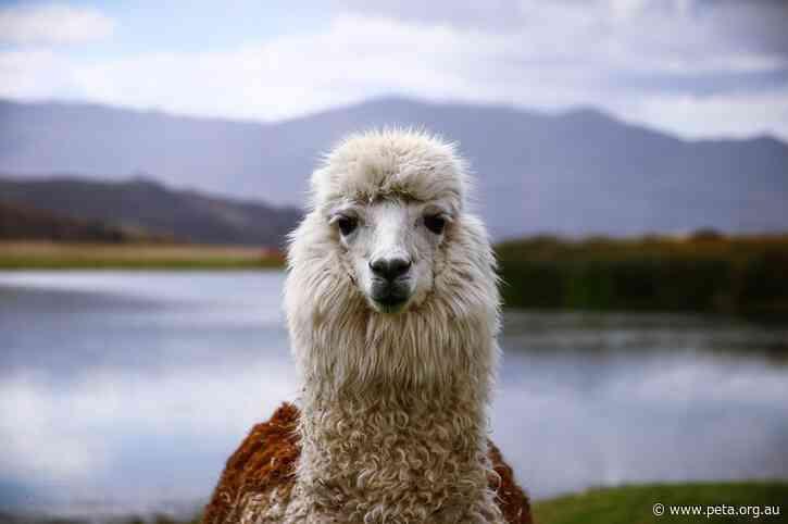 Great News for Alpacas! Smith & Caughey's Bans Alpaca Wool Following PETA Exposé