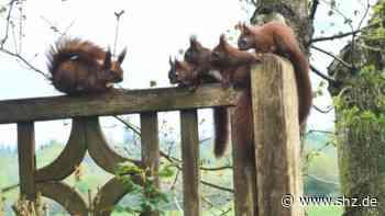 Elsdorf-Westermühlen: Vier kleine Racker und die Mutter: Familie Eichhörnchen auf Klettertour | shz.de - shz.de