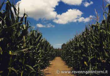 Riapre il labirinto nel campo di mais di Alfonsine. Sentieri larghi più di 2 metri - Ravenna e Dintorni