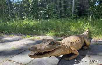 Rentnerpaar findet Alligator in der Isar bei Ismaning - Ismaning - Passauer Neue Presse