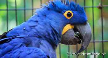 El mundo festeja nacimiento de cría de guacamayo azul, ave que se creía extinta desde hace mucho tiempo - El Comercio