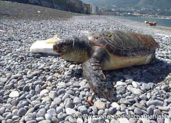 Due tartarughe trovate morte in un solo giorno: una a Lago Patria e un'altra a Castellammare - Cronache della Campania