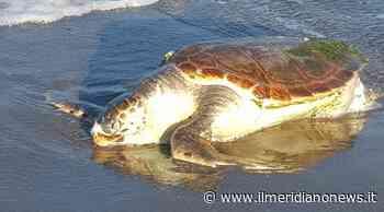 Trovata morta grossa tartaruga sul Lago Patria: ipotesi ingerimento sostanze nocive - Il Meridiano News