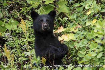 Bear spotted near Munson Mountain in Penticton – Penticton Western News - Pentiction Western News
