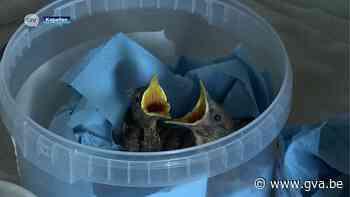 """Té druk in vogelopvangcentrum: """"Laat de dieren in de natuur, ze redden zich wel"""" - Gazet van Antwerpen"""
