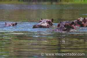 Campesino fue atacado por hipopótamo en Puerto Triunfo (Antioquia) - ElEspectador.com