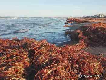 """Mare, Ispra: """"La posidonia spiaggiata? Può diventare un arredo da spiaggia"""" - DIRE.it - Dire"""