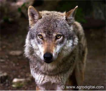 Continúa la vigencia del Plan del lobo de Castilla y Leon hasta 2022 - Agrodigital