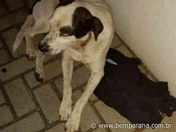 Cão segue ambulância de dono atropelado em ruas de Paranavai - Bem Paraná