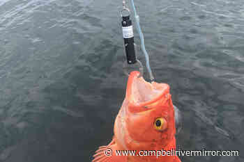 If you hook them, deep-return them with a descender - Campbell River Mirror