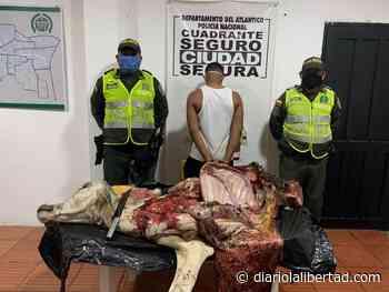 Descuartizó un ternero en zona rural del Campo de la Cruz - Diario La Libertad