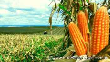Campo Novo do Parecis/MT já colheu 20% do milho e espera queda na produtividade e na rentabilidade - Notícias Agrícolas