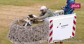 Ein Hubsteiger sorgt für Erleichterung bei der Storchenberingung in Trebur - Echo Online