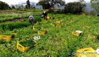 Productores de aromáticas de Chipaque piden apoyo ante ventas bajas - Caracol Radio