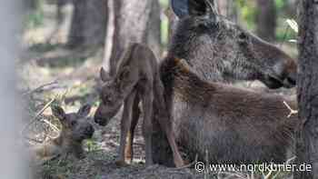 Elch-Babys im Wildpark Schorfheide gestorben - Nordkurier