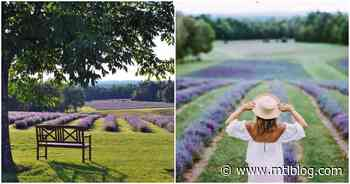 You Can Explore These Stunning Lavender Fields In Quebec For Free This Summer - MTL Blog