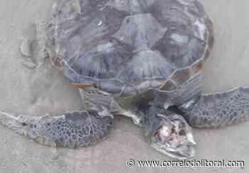 Tartarugas são achadas mortas nas praias de Guaratuba - Correio do Litoral