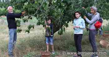 Carpentras : cueillir le fruit sur l'arbre, c'est la cerise sur le gâteau ! - La Provence
