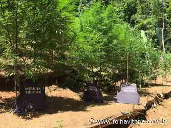 Polícia encontra mais de 100 pés de maconha em Mimoso do Sul - Folha Vitória