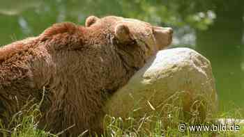 Trauer im Tierpark Thale - Bärin Mascha eingeschläfert - BILD