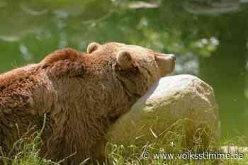 Tierpark: Thale trauert um Braunbärendame Mascha - Volksstimme