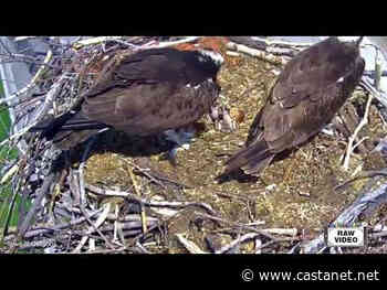 Livestreamed Osoyoos osprey nest welcomes two babies - Penticton News - Castanet.net