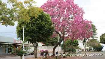 Natureza: ipês-rosas encantam visitantes e moradores de Cruzeiro do Oeste - ® Portal da Cidade   Umuarama
