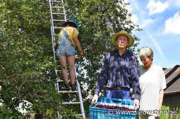 """Pajottenlander luidt de alarmbel: """"De typische hoogstam kersenbomen zijn bedreigd"""""""