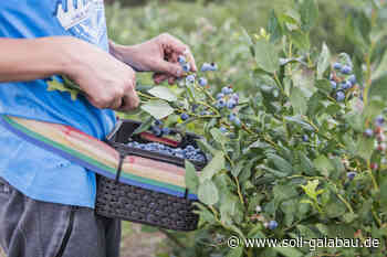 Love you berry much! Blaubeeren sind Aufsteiger des Jahres - Beschaffungsdienst GaLaBau
