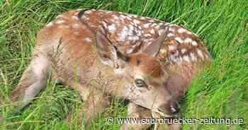 Jungtiere sind im Naturwildpark in Freisen zu sehen - Saarbrücker Zeitung