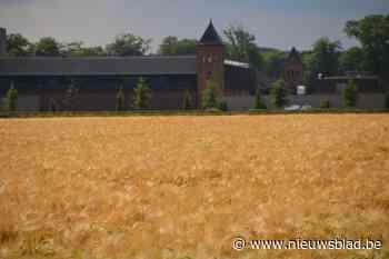 Prachtig graanveld aan abdij Westmalle niet voor bier maar voor trappistenkoeien