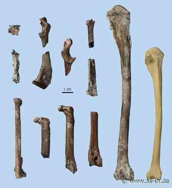 Archäologie: Nach Sensationsfund Udo: Forscher finden Knochen von tropischem Vogel in Pforzen - Pforzen - all-in.de - Das Allgäu Online!