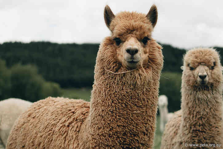 Huge News! M&S to Drop Alpaca Wool
