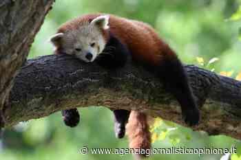 Parco Natura Viva Bussolengo (vr) * PANDA ROSSO: « bambù assicurato per Maituk e Nyi-Ma, i due maschi che attendono l'arrivo di due nuove compagne » | Agenzia giornalistica Opinione - agenzia giornalistica opinione