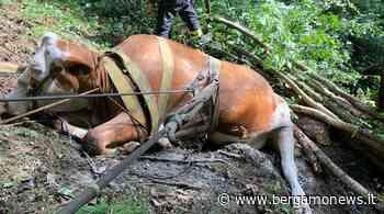 Clusone, mucca dispersa per 24 ore: viene ritrovata, ma muore poco dopo - BergamoNews.it