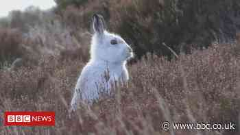 MSPs ban unlicensed culling of mountain hares