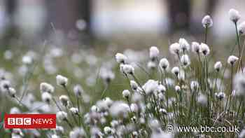 In pictures: Cairngorms' 'snowy fields' of bog cotton