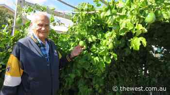 OPINION: Tending to vines a passion in Geraldton - The West Australian