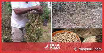 Potencial produtor de Amendoim em Morada Nova/União - Fala Piauí