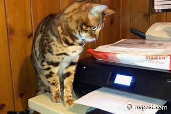 Meet the Meryl Streep of cats - New York Post