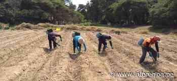 Cooperativa Agraria Valle Huarmey – Culebras inició cosecha de espárragos con protocolos de bioseguridad - INFOREGION