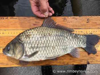 Experiment being conducted to keep Prussian Carp out of Gull Lake - Rimbey Review