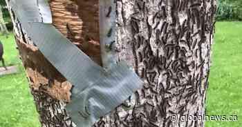 Invasive gypsy moth has Port Franks residents and Lambton Shores mayor at odds - Globalnews.ca