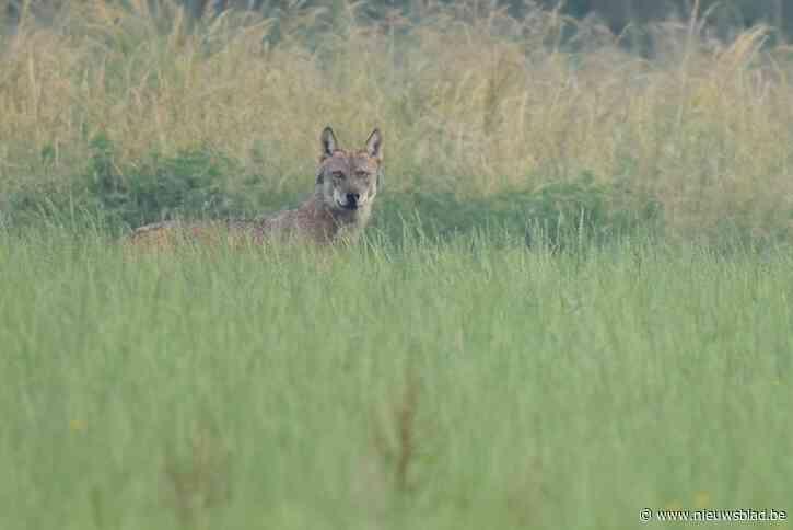 """Wolf Billy aangereden in Turnhout: """"Maar hij overleeft het zo goed als zeker"""""""